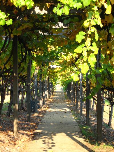 Grape Arbor1