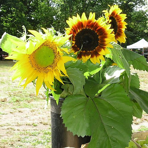 Sunflowers in Bloom1